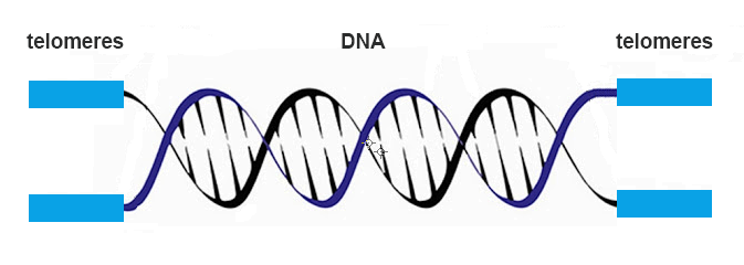 dna telomere 1