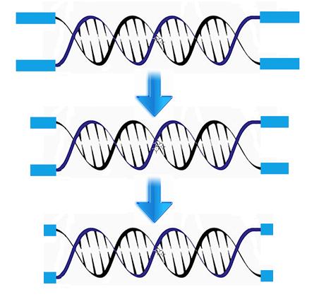 dna telomere 2