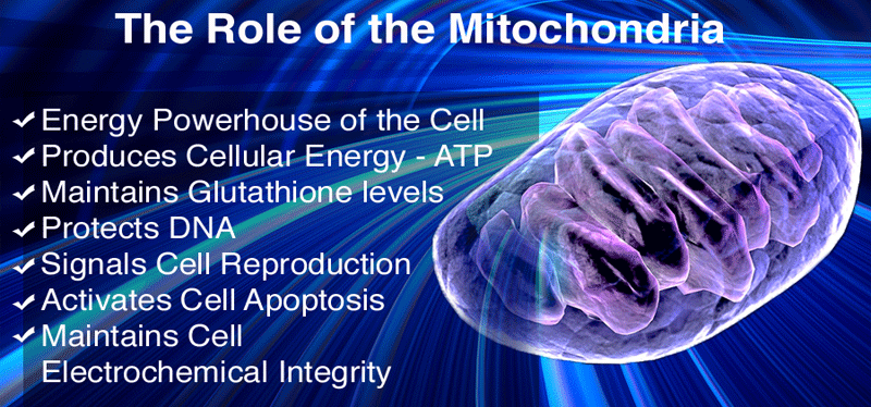 mitochondria cell aging