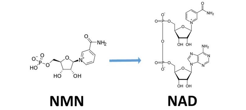 nmn precursor to nad