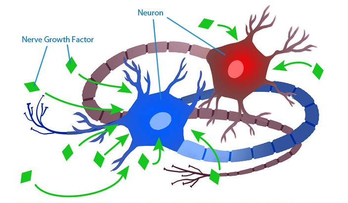 ngf and neurons