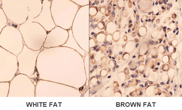 white fat brown fat