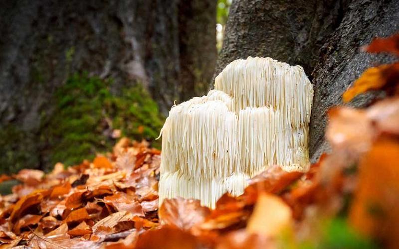 lions mane mushroom main
