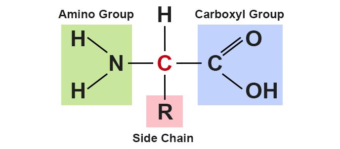 amino acid molecular structure