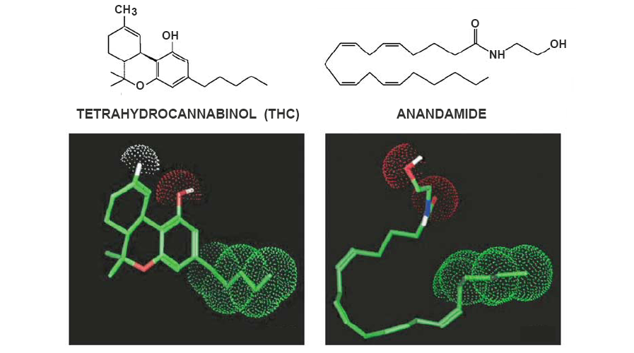 anandamide thc molecules