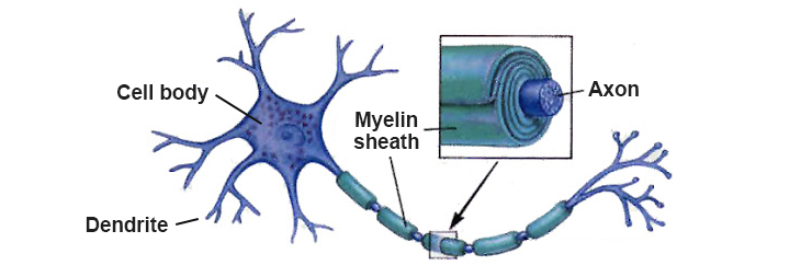 cell axon myelin sheath