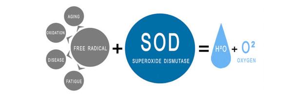 barley grass superoxide dismutase